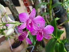 Pink orchidaceae a4 (SierraSunrise) Tags: esarn flowers isaan nongkhai orchidaceae orchids phonphisai pink plants thailand