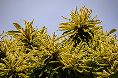 Sweet Chestnut (ianbartlett) Tags: outdoor 365 wildlife nature insects nests flowers flies seeds trees