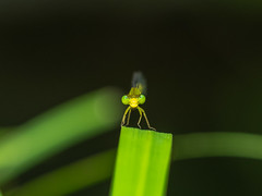 Green ball (dayonkaede) Tags: olympus em1markii m40150mm f28 mc20 nature insect dragonfly leaf green eye