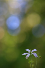 Untitled (jttoivonen) Tags: nature flower plant flora bokeh closeup colors finland creativecommons summer simple