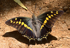 Charaxes solon - Black Rajah (RamaWarrier) Tags: charaxes solon black rajah singanallur lake coimbatore india nymphalidae brush footed nawabs rajahs butterfly lepidoptera brushfooted up upper view wing upside side open olive brown