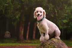 Picture of the Day (Keshet Kennels & Rescue) Tags: adoption dog dogs canine ottawa ontario canada keshet large breed animal animals kennel rescue pet pets field nature photography mini miniature poodle rock boulder mountain peak tongue out forest trees vista white summit
