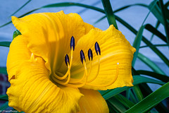 Dixie Lily (jtrainphoto) Tags: garden summer macro nature daylily ef100mm canon bloom yellow flickr flower