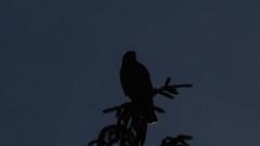 Last of the Hawk (blazer8696) Tags: img1236 brookfield connecticut unitedstates 2019 accipitridae accipitriformes bird broad broadwingedhawk buteo buteoplatypterus butplt bwha ct ecw hawk obtusehill platypterus raptor t2019 tabledeck usa winged