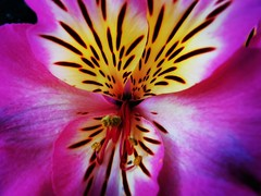Alstroemeria, commonly called the Peruvian lily (janettehall532) Tags: peruvianlily alstroemeria summerflower naturephotography nature beautiful beauty flowerphotography flower centreofaflower colourful vibrant vibrantcolours bright summerflowers floral lovenature naturelovers beautyinnature botany botanical photography photographylovers photo pic huaweip30pro huawei flickr flickrcentral