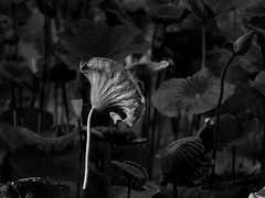 P1091480_LR_mono (enno7898) Tags: panasonic lumix lumixg9 dcg9 xvario vario 35100mm f28 plants lotus leaves blackandwhite monotone