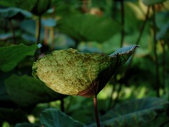 P1091479_LR (enno7898) Tags: panasonic lumix lumixg9 dcg9 xvario vario 35100mm f28 plants green lotus leaves