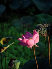 P1091470_LR (enno7898) Tags: panasonic lumix lumixg9 dcg9 xvario vario 35100mm f28 plants flower green lotus