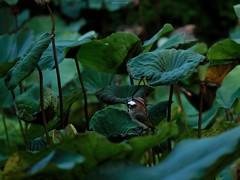 P1091463_LR (enno7898) Tags: panasonic lumix lumixg9 dcg9 xvario vario 35100mm f28 plants green lotus leaves bird