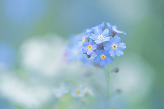 Forget-Me-Not (lfeng1014) Tags: forgetmenot flower flowermacro macro macrophotography closeup bokeh depthoffield dof canon5dmarkiii ef100mmf28lmacroisusm lifeng