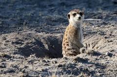 Meerkat looking out of burrow (Paul Cottis) Tags: makgadikgadi salt pan botswana africa mongoose suricate paulcottis mammal 15 june 2019 burrow meerkat