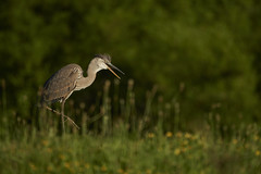 Blue heron (chmptr) Tags: heron oiseau aquatique bird animal wildlife héron animalier