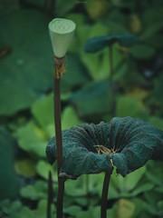 P1091484_LR (enno7898) Tags: panasonic lumix lumixg9 dcg9 xvario vario 35100mm f28 plants green lotus leaves