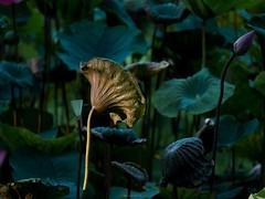P1091480_LR (enno7898) Tags: panasonic lumix lumixg9 dcg9 xvario vario 35100mm f28 plants green lotus leaves
