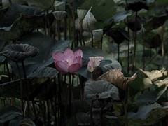 P1091474_LR (enno7898) Tags: panasonic lumix lumixg9 dcg9 xvario vario 35100mm f28 plants flower green lotus