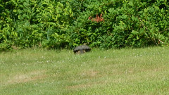 Distant Turtle (blazer8696) Tags: dscn4773 reptile brookfield connecticut unitedstates 2019 chelydra chelydraserpentina common commonsnappingturtle ct ecw obtusehill serpentina snapping snappingturtle t2019 turtle usa