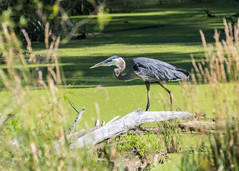 GBH - Summit Lake State Park (dbking2162) Tags: birds bird beautiful beauty nature nationalgeographic wildlife water wading green greatblueheron heron egrets eyes summitlakestatepark indiana