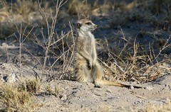 Young meerkat sitting up and watching (Paul Cottis) Tags: makgadikgadi salt pan botswana africa mongoose suricate paulcottis mammal 15 june 2019 burrow meerkat