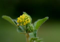 Least Hop Clover (jmunt) Tags: wildflower clover trifolium