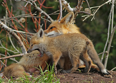 Red fox kit and momma...#33 (Guy Lichter Photography - 5.1M views Thank you) Tags: canon 5d3 canada manitoba wildlife animal animals mammal mammals fox redfox female kit