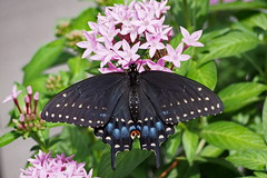 Black Swallowtail-female (Jim Atkins Sr) Tags: papiliopolyxenes easternblackswallowtail americanswallowtail parsnipswallowtail butterfly insect fairfieldharbour northcarolina olympuspenepm2 olympus