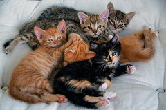 A family of kittens (elzbietafazel) Tags: kittens cute cats pet mammal animals cuteness littlecats