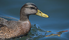 Quack Quack (Scott 97006) Tags: bird water river swim bill aquatic duck head eye feathers