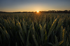Cornfield sunset (Sebo23) Tags: sonnenstrahlen sunbeams sonne sunstar sonnenuntergang sunset sunrays sonnenstern cornfield kornfeld landscape landschaft licht light lichtstimmung gegenlicht nature naturaufnahme natur canoneosr canon16354l