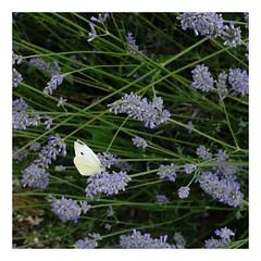 Papillon... (DavidB1977) Tags: france picardie hautsdefrance oise papillon bouillancy fujifilm x100f lavande carré square