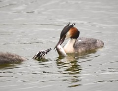 Great crested grebe. (dave harrison143) Tags: grebes carrmilldam