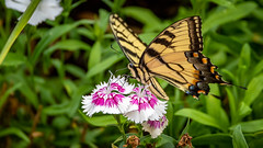 Swallowtail Butterfly (NeilCastle) Tags: bug garden northcarolina cary insect backyard butterfly swallowtailbutterfly