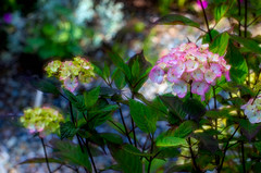 Dancing with the Stars (Colormaniac too - Many thanks for your visits!) Tags: hydrangea pinkhydrangea blossom bloom flower colorful garden summer july sequim pacificnorthwest olympicpeninsula washingtonstate netartll hss topazstudio
