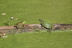Frog and Turtle sitting on a log (Geo Scouter) Tags: wildwoodlake harrisburg pennsylvania frog turtle
