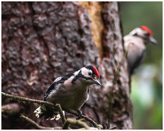 Great Spotted Woodpecker Juvenile (nickyt739) Tags: great spotted woodpecker bird sherwood forest woodland nikon d750 fx amateur photographer juvenile wild wildlife tree flickrsbest england united kingdom europe animal planet