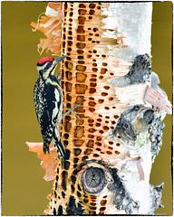 Yellow-Bellied Sapsucker (RKop) Tags: maine sundayriver sapsucker woodpecker raphaelkopanphotography d500 200500mmf56edvrzoom