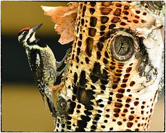 Yellow-Bellied Sapsucker, Female (RKop) Tags: maine sundayriver sapsucker woodpecker raphaelkopanphotography d500 200500mmf56edvrzoom