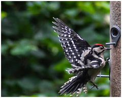 Great Spotted Woodpecker Juvenile 2 (nickyt739) Tags: great spotted woodpecker bird sherwood forest woodland nikon d750 fx amateur photographer juvenile wild wildlife tree flickrsbest england united kingdom europe animal planet