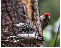 Great Spotted Woodpecker Juvenile 3 (nickyt739) Tags: great spotted woodpecker juvenile bird wild wildlife sherwood forest woodland tree nikon d750 fx flickrsbest amateur photographer england united kingdom europe animal planet