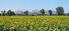 Massís del Montgrí (Meino NL) Tags: bomen tree sunflower zonnebloemen massísdelmontgrí flowers bloemen yellow summer fontclara costabrava catalonië catalunya spain spanje