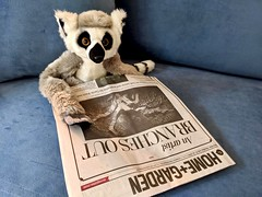 Ringo and the morning paper (Bennilover) Tags: lemur ringo newspaper reading morning breakfast smileonsaturday picofpaper
