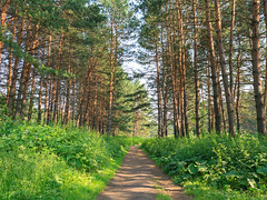 A path in the pine forest (man_from_siberia) Tags: siberia russia сибирь россия 2019 лето июль summer july outdoors outdoor canon eos 5d dslr canoneos5d canon5d canon5dclassic fullframe canonef24mmf28isusm primelens trees pineforest pinetrees pines path pathway сосновыйбор бор лес forest сосны деревья зелень