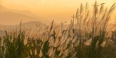 _MG6901.1.1109.Cốc Lếu.Thành phố Lào Cai. (hoanglongphoto) Tags: asia asian vietnam northvietnam northernvietnam northeastvietnam landscape scenery nature vietnamlandscape vietnamscenery sunset sky redsky reed sedge 1x2 imagesize1x2 flanksmountain canon canoneos5dmarkii canonef70200mmf28lisusm đôngbắc làocai thànhphốlàocai cốclếu phongcảnh thiênnhiên buổichiều hoànghôn bầutrời bầutrờimàuđỏ rừnglau lâu sậy laocaiciti sườnnúi