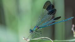 Wings Arrayed Syrian Demoiselle (Calopteryx syriaca), Rte 35 Bridge at the Zarqa River, Jordan (MikeM_1201) Tags: syriandemoiselle damselfly insect broadwinged jordan zarqariver d500 morning animal iucnendangered