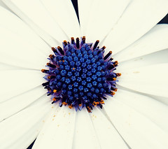 Cape Daisy (teejay_tj) Tags: flower nature white green beautiful solitary sonya6300 sonyalpha capedaisy daisyflower garden