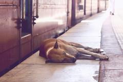 (Silvia Andújar) Tags: animal dog perro sueño train junction srilanka