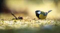 Kohlmeise (Great tit) (tzim76) Tags: gelb kohlmeise parus major sperlingsvögel singvögel meisen great tit dresden nature outdoor canon birding