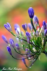 Nature 'Agapanthus'. (jean-paul Falempin) Tags: nature fleurs agapanthe bleu