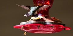 Hummingbird & Bees_2130ce (Porch Dog) Tags: 2019 garywhittington nikond750 nikkor200500mm hummingbird birdfeeder backyard nature wildlife avian feathers