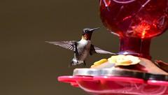 Hummingbird_2092ce (Porch Dog) Tags: 2019 garywhittington nikond750 nikkor200500mm hummingbird birdfeeder backyard nature wildlife avian feathers