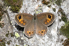 Large Wall Brown ♂ Lasiommata maera (Roger Wasley) Tags: largewallbrown male lasiommatamaera chamonix france french alps butterfly butterflies insect